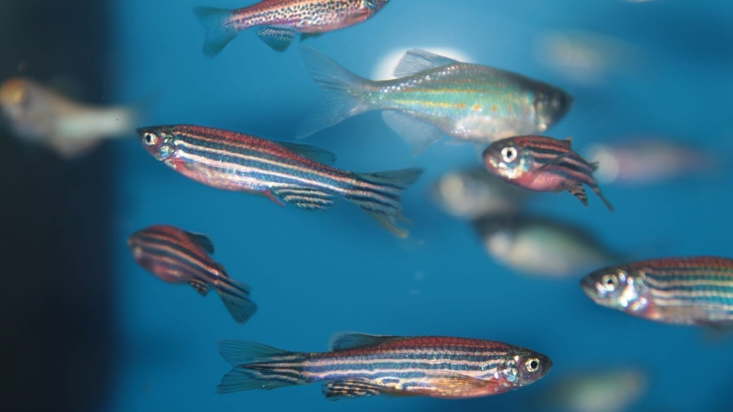 Zebrafish: Photo 37272613 © Kazakovmaksim | Dreamstime.com