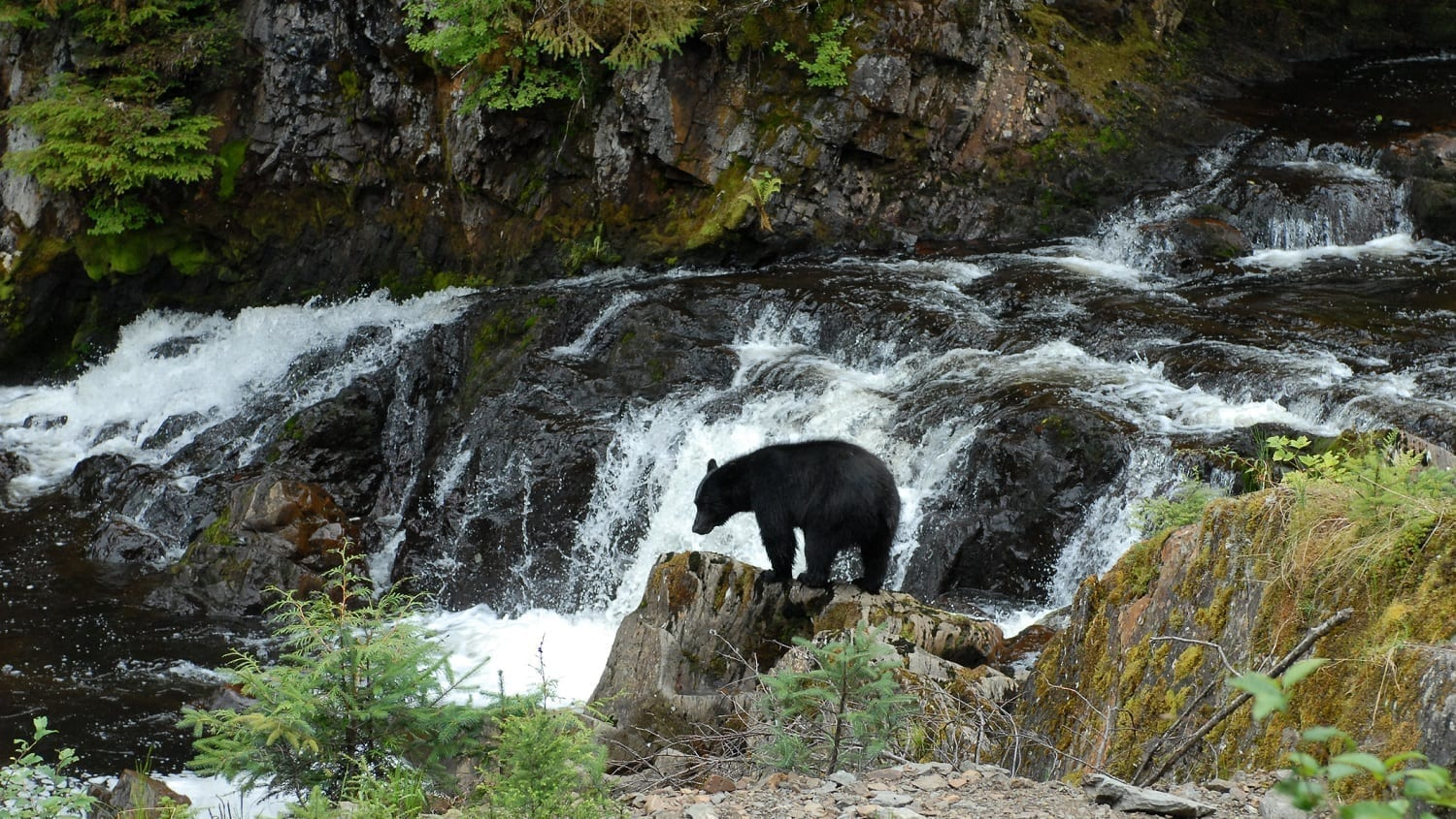 Black bear in an Alaskan stream: Photo 79886466 © Sports Images | Dreamstime.com