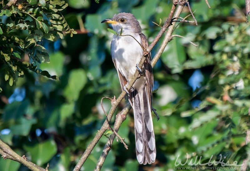 Yellow billed Cuckoo in Georgia, photo credit: William Wise Photography