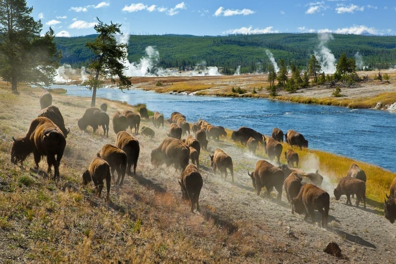 Herd of bison in Yellowstone: Photo 14885273 © Linda Bair | Dreamstime.com