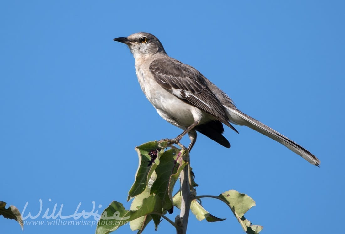 Northern Mockingbird, photo credit: William Wise Photography