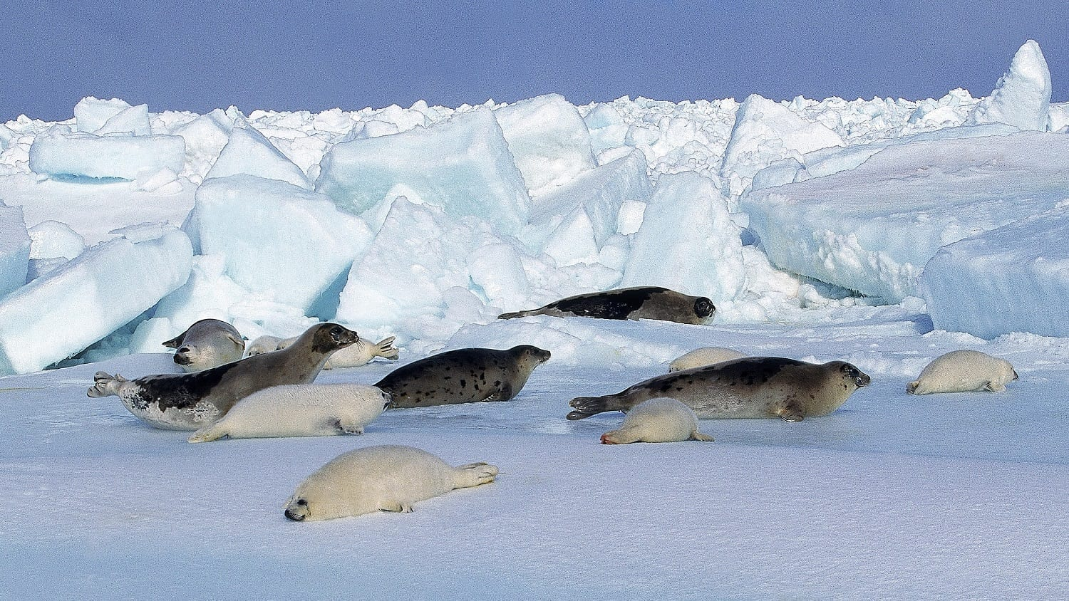 Harp seals on ice, Magdalena Island, CA: ID 194423155 © Slowmotiongli | Dreamstime.com