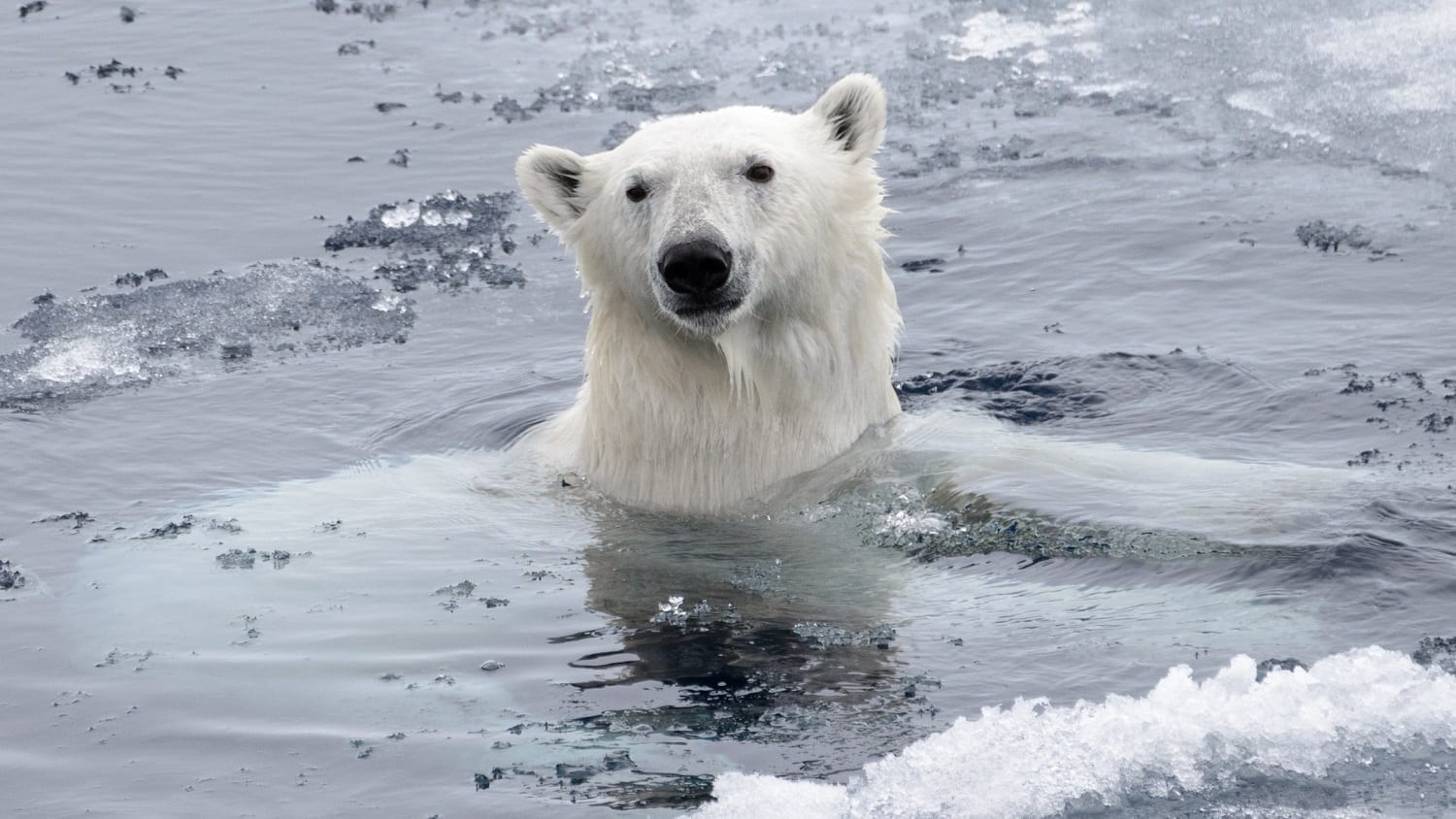 Wild polar bear swimming with slushy ice: ID 132162679 © Alexey Sedov | Dreamstime.com