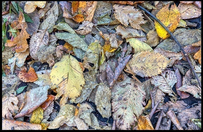 Colorful but slightly moldering leaves, photo credit: Pat Mingarelli