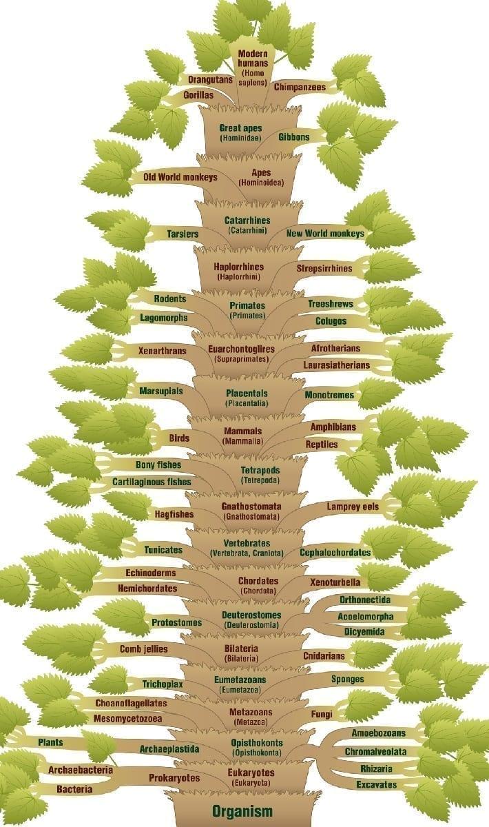 Phylogenic tree of life human evolution Illustration 51982494 © Peter Hermes Furian | Dreamstime.com