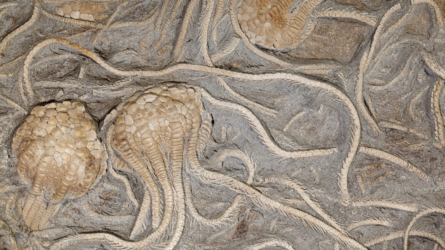 Complete Fossilized Crinoids: Photo 19004163 © Anthony Aneese Totah Jr | Dreamstime.com