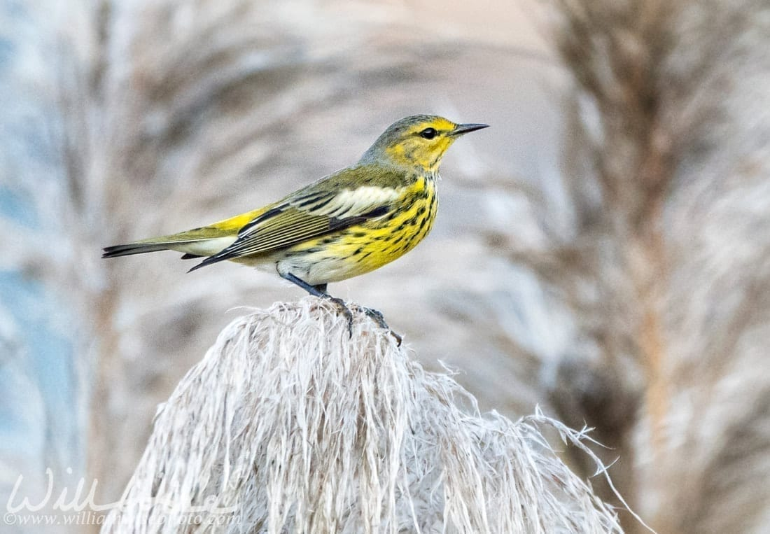 A Cape May Warbler on a dried plant stem, photo credit: William Wise