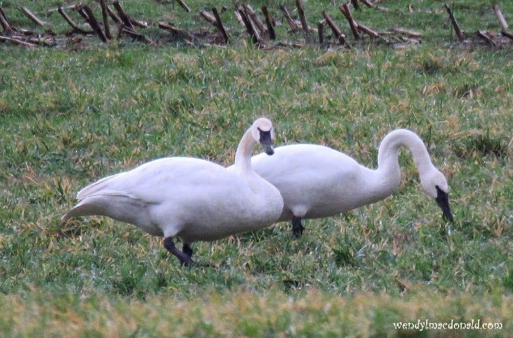 Swan looking at the camera, photo credit: Wendy McDonald