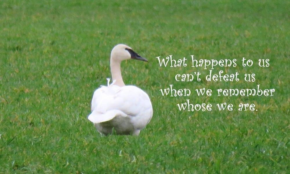 Swan walking away, photo credit: Wendy McDonald