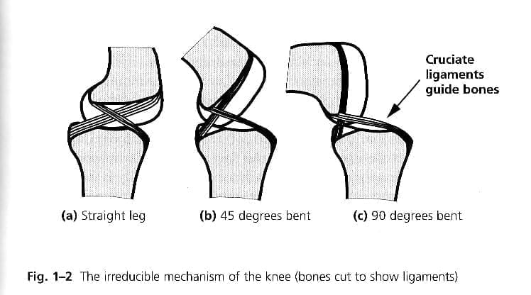 diagram of knee joint from the side