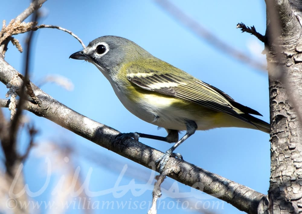 Blue-headed Vireo songbird, photo credit: William Wise