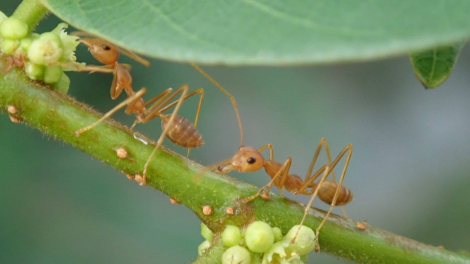 Translucent brown ants on a green stem: Photo 134021905 © Aaron Lee | Dreamstime.com