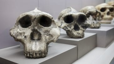 Human evolution display. Catalan Museum of Archaeology, Barcelona, Spain: ID 170289122 © Heritage Pictures | Dreamstime.com
