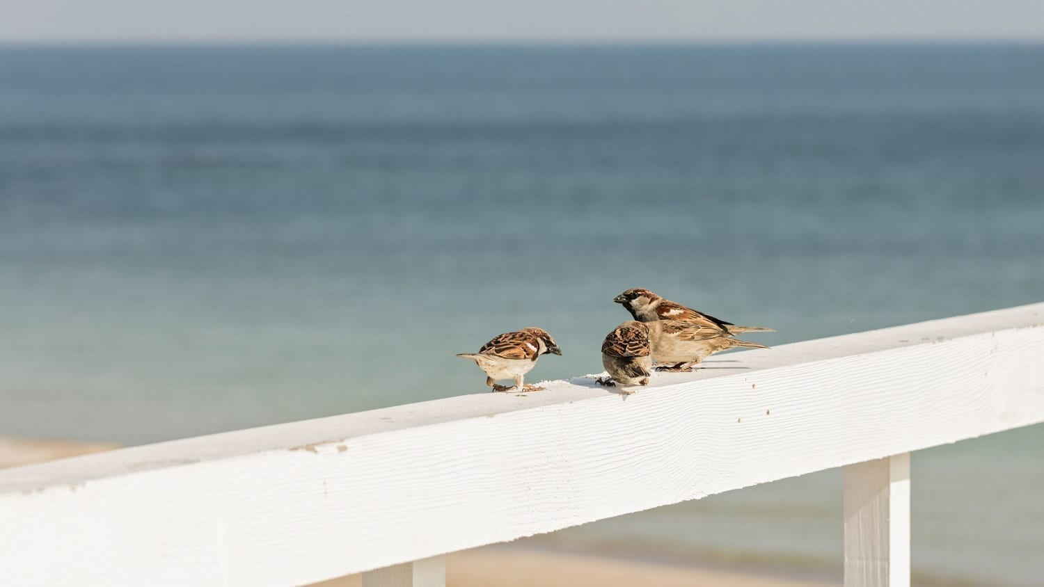Sparrows on a rail near the ocean: ID 89586386 © Oleh29photo