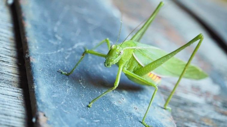 Common garden katydid, Queensland, Australia: Photo 107713989 © Miwainoz | Dreamstime.com