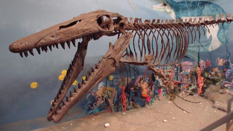 Glendive Museum Mosasaur display