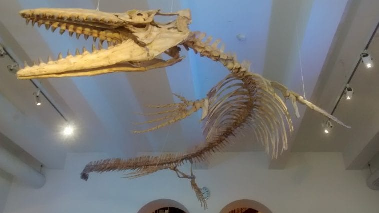Mosasaurus skeleton from the natural history museum of Munich, Germany, photo credit: Bildflut
