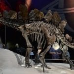 Stegosaurus Natural History Museum London: Photo 59988032 © Slawek Kozakiewicz | Dreamstime.com