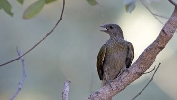 Honeyguide on a branch, calling out: Photo 129025446 © Agami Photo Agency   Dreamstime.com