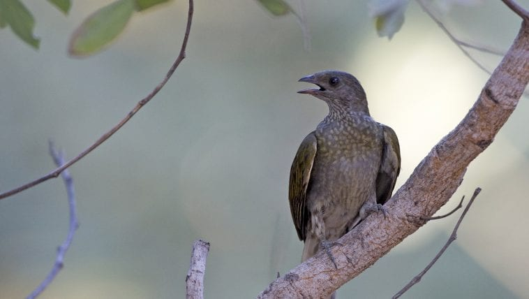 Honeyguide on a branch, calling out: Photo 129025446 © Agami Photo Agency | Dreamstime.com