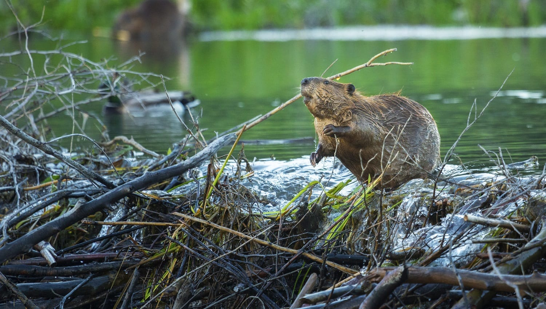 A beaver on its dam: Photo 62616385 © Chase Dekker   Dreamstime.com