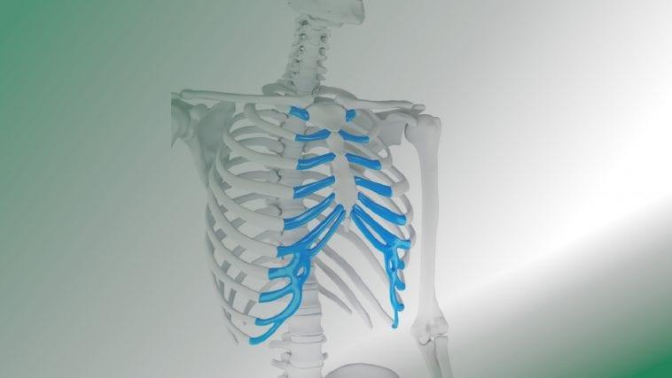 Human ribcage with cartilage: Illustration 101264698 / Human Cartilage Ribcage © Sebastian Kaulitzki   Dreamstime.com