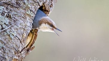 brown-headed nuthatch, photo credit: William Wise