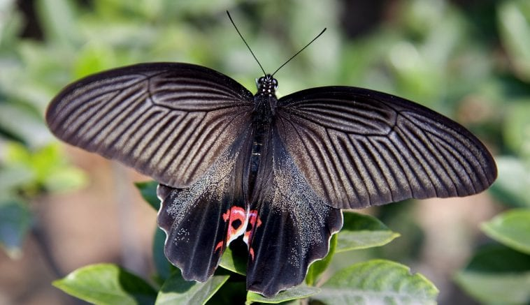 Chinese Red and Black Butterfly: Photo 3917692 © William Perry | Dreamstime.com