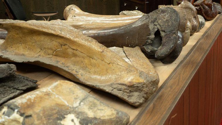 Dinosaur bones display, Range Rider Museum, Montana Photo 179689191 © Tloventures | Dreamstime.com