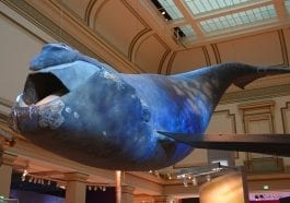 Northern Right Whale on display at the National Museum of Natural History, Washington, D.C.: ID 195950245 © Jiawangkun | Dreamstime.com
