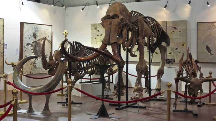Ice age fossilized skeletons including a wooly mammoth: Photo 86455751 © Derrick Neill | Dreamstime.com