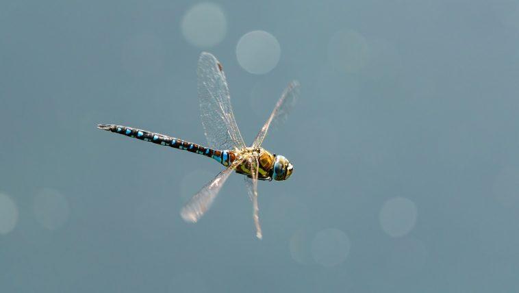 Dragonfly-flying-: Photo 166907078 © Chrismrabe   Dreamstime.com