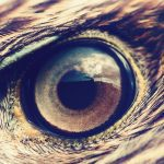 Golden Eagle closeup of eye with feathers: Photo 86381819 © Mycteria | Dreamstime.com