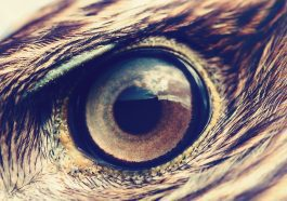 Golden Eagle closeup of eye with feathers: Photo 86381819 © Mycteria   Dreamstime.com