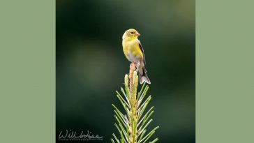 American goldfinch on a pine branch, photo credit: William Wise