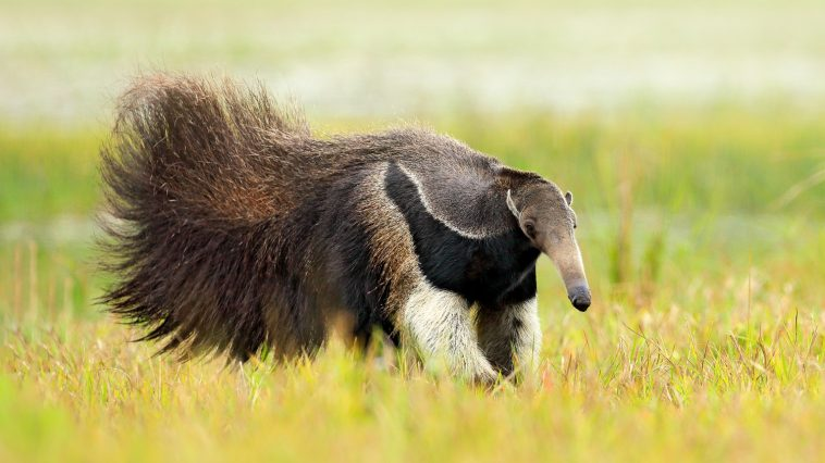 Anteater with tail out walking through the grass: Photo 113787045 / Anteater © Ondřej Prosický | Dreamstime.com