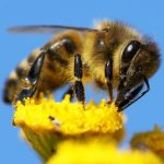 Closeup of a Honeybee on a yellow flower: Photo 13931638 / Honeybee Closeup © Daniel Prudek | Dreamstime.com