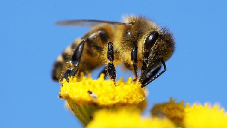 Closeup of a Honeybee on a yellow flower: Photo 13931638 / Honeybee Closeup © Daniel Prudek   Dreamstime.com
