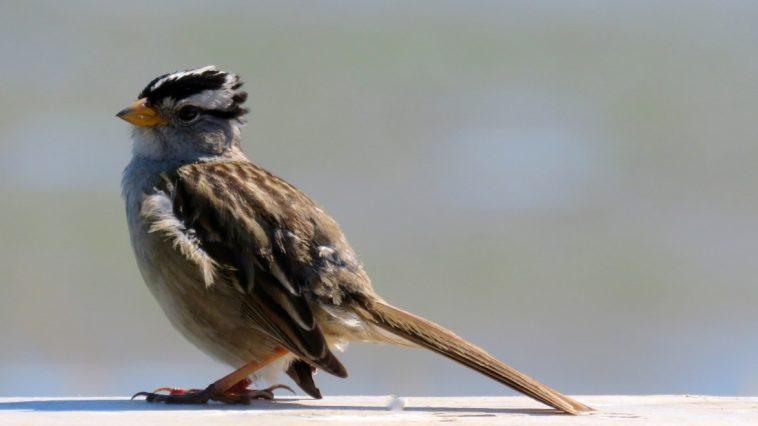 Songbird on a board, photo credit: Wendy MacDonald