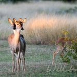 Twin Texas White Tailed Deer fawns, photo credit: William Wise Photography