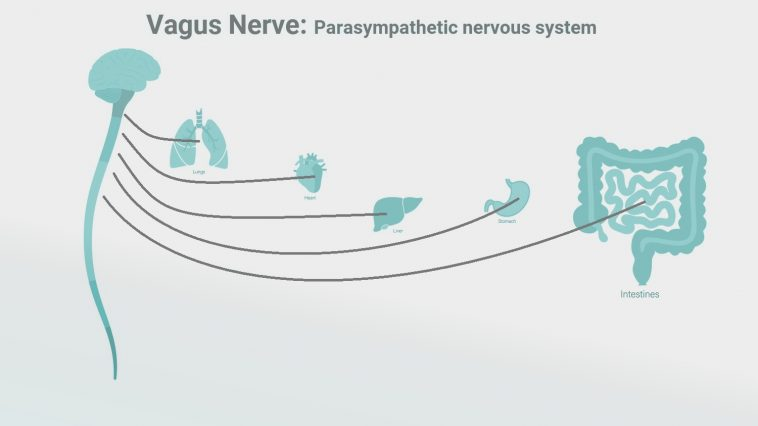 Diagram of the brain and vagus nerve connections to the body: Illustration 227529770 / Intestines Brain © Tetiana Pavliuchenko | Dreamstime.com