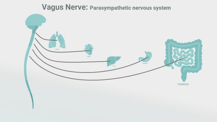 Diagram of the brain and vagus nerve connections to the body: Illustration 227529770 / Intestines Brain © Tetiana Pavliuchenko   Dreamstime.com