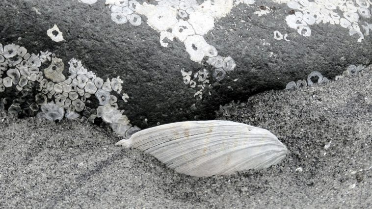 Clamshell half buried in sand, photo credit: Wendy McDonald